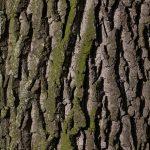 corteccia della quercia