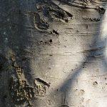 corteccia del faggio