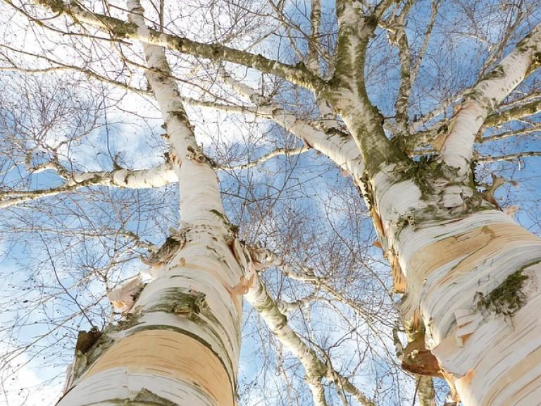 Betulla-albero